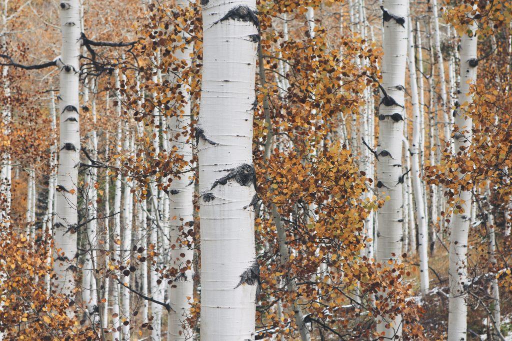 breza-les-listy-ranena-breza-priroda