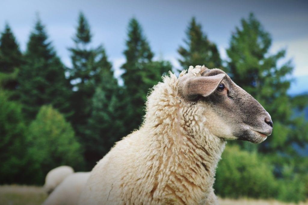 ovca-kozuch-zviera-stromy-obloha