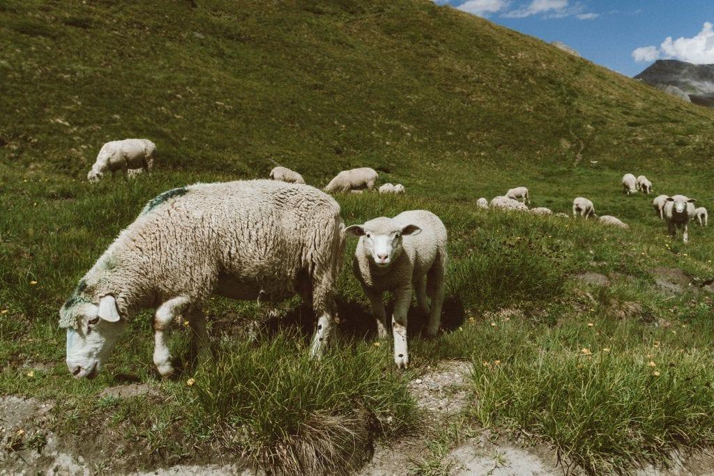 ovce-luka-trava-pastvina-stado-kopce-priroda