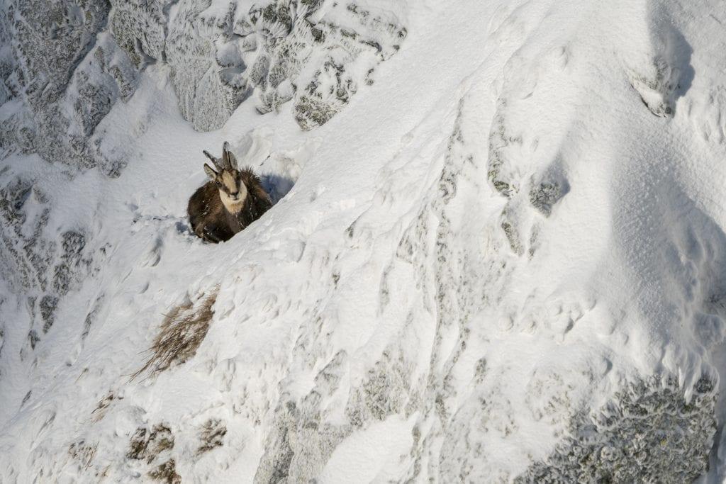 zima-sneh-kamzik-zviera-tatry-skaly-nebezpecenstvo