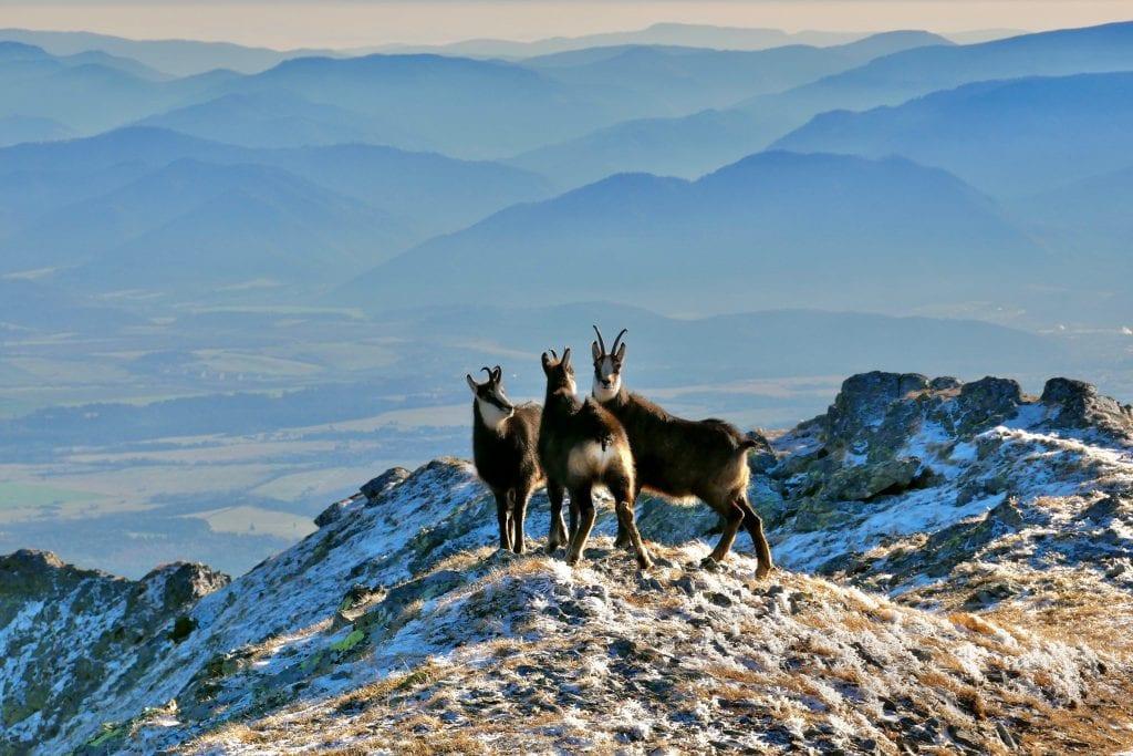 kamziky-stado-zima-hory-kopce-skaly-zvierata-tatry