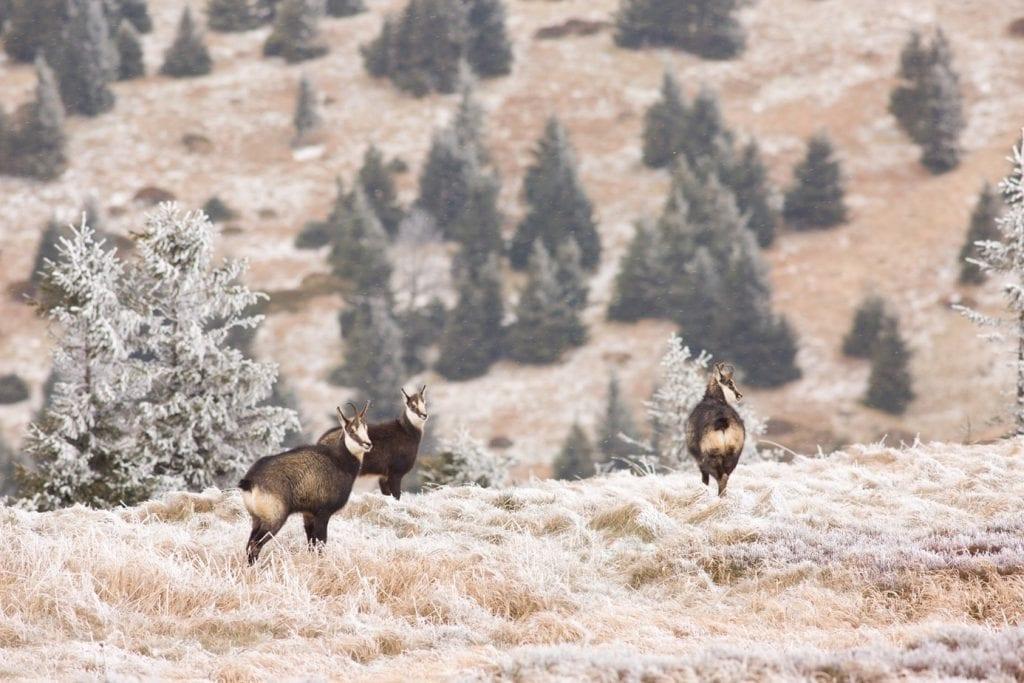 kamziky-stado-zima-mraz-sneh-stromy-zvierata-priroda