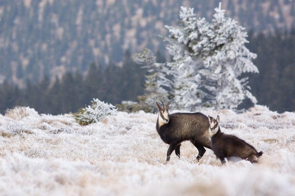 kamzik-zima-sneh-stromy-zviera-tatry-hory
