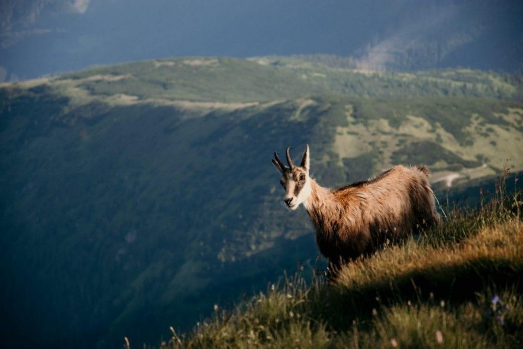 zapadne-tatry-rohace-kamzik-zviera-trava-kosodrevina