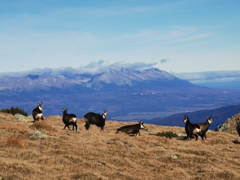 kamziky-dumbier-luka-stado-hory-zvierata