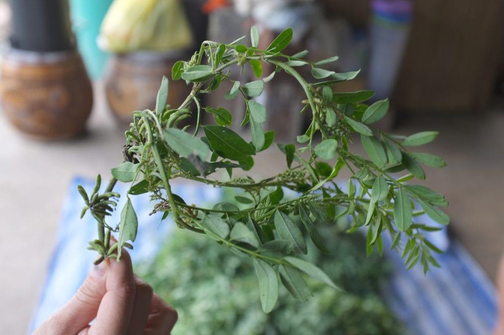 rastlina-indigovnik-vyroba-modrotlace-listy-ruka